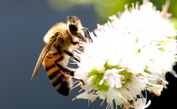 Close up picture of Bee on Flower
