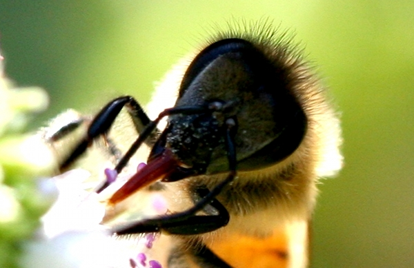Bee super close up
