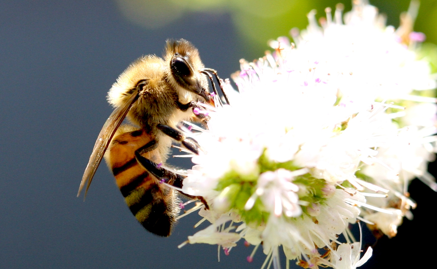 Bee Macro Close Up Pictures