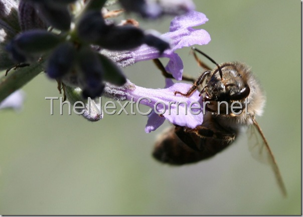 bee-drinking-lavendar-nectar-10