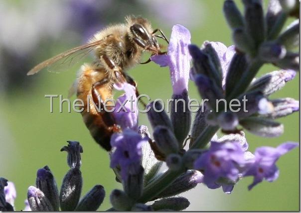 bee-drinking-lavendar-nectar-1