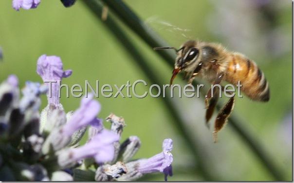 bee-drinking-lavendar-nectar-2