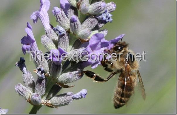 bee-drinking-lavendar-nectar-3