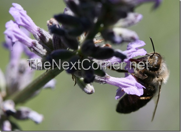 bee-drinking-lavendar-nectar-9
